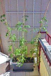Tomaten pflanzen am Gerüst an der Wand