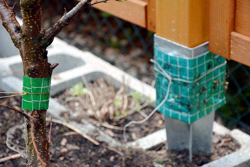 Blattläuse natürlich bekämpfen am Obstbaum mit Brennesel-Brühe und Leimband. Schnelle Wirkung und Umweltschonend